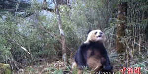 This Is A Giant Panda Masturbating In The Bamboo Forest—Because You Haven't Seen Everything Yet