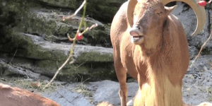 Screaming Goats Performing The 'Star Wars' Theme Song Is EVERYTHING