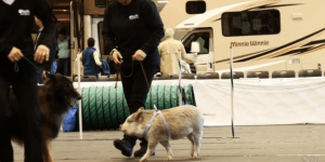 This 6-Month-Old Pig Is Taking Obedience Classes With Dogs And Straight Up Schooling Them