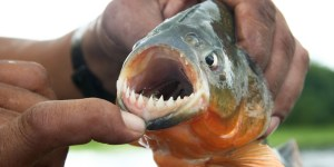 This Is What It Looks Like When Piranhas Eat, And DEAR GOD PLEASE DO NOT SWIM WITH PIRANHAS