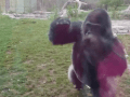 This Is Why You Don't Tap On The Glass At Zoos—Silverback Gorilla Attacks