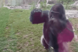 And, this is why you NEVER taunt the gorilla at the zoo!