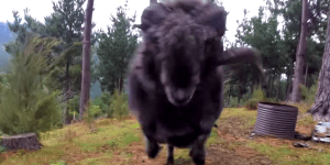 Angry Ram Bashes Drone That Is Spying On Him