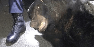 400-Pound Bear Crashes Lehigh University Party, Petrifies Students, Brings No Beer, Gets Tranqued