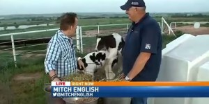 Two Cows Videobomb A Live Report By Having Sex With Each Other