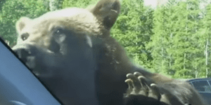 This Bear Is All Like 'Hi!' And The Chicks In This Car Are All 'OH MY GOD OH MY GOD IT'S A BEAR HELP'