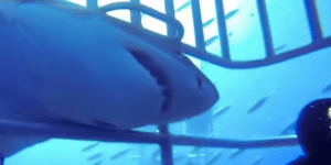 Cage Divers Crap Their Pants When A Massive Great White Shark Tries To Break Into The Cage