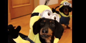 This Video Of Wiener Dogs Dressed Up As Minions Is Breaking The Internet