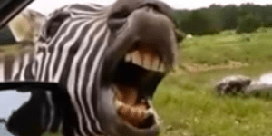 Who Sings Better In Exchange For Snacks: This Zebra Or Mariah Carey?