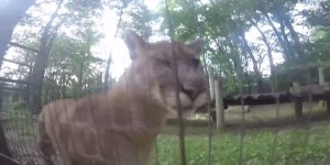 Cougar-Loving Bro Hops The Fence At A Zoo To Pet Some Cougars, Films It All