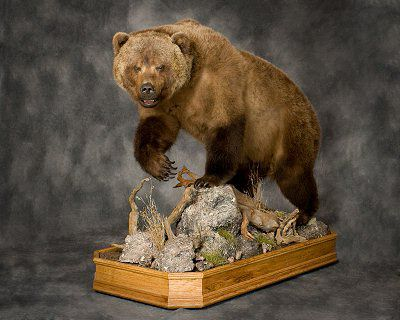 Brown Bear Taxidermy Studio 289 Pleasant Valley Road Pine