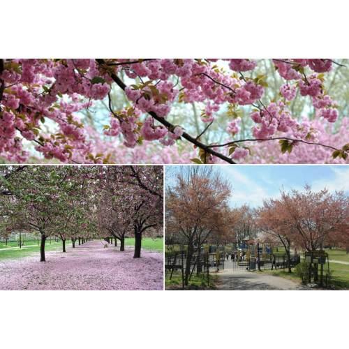 Medium Crop Of Okame Cherry Tree