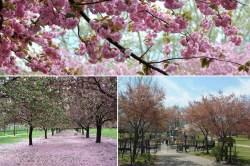 Small Of Okame Cherry Tree