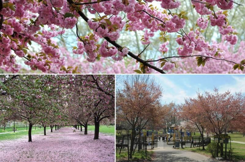 Large Of Okame Cherry Tree