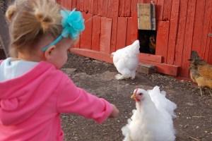 here chicken
