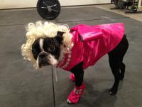 Marilyn Monroe Costume of a Boston Terrier Dog (Photo)