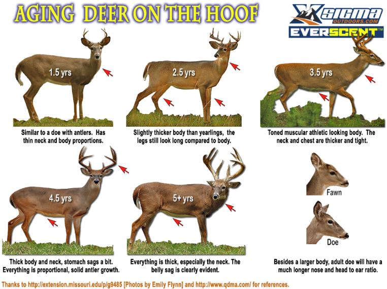 Aging Deer on the Hoof