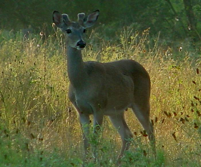 Top 3 Factors for Whitetail Buck Antler Growth