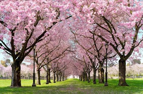 Free 3d Live Wallpaper For Pc Planting Sakura Trees Buddhist Church Of Sacramento