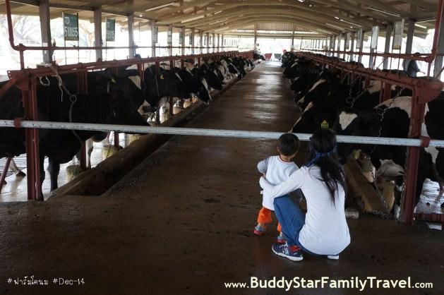 เที่ยวฟาร์มโคนม, วัวแดง, ไทย,เดนมาร์ก,เด็ก,ที่เที่ยว,เขาใหญ่