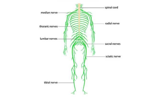 5 Best Exercises To Relieve Sciatica (Sciatic Nerve Pain) - BuiltLean
