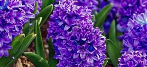 feature post image for Come Coltivare i Bulbi di Giacinto