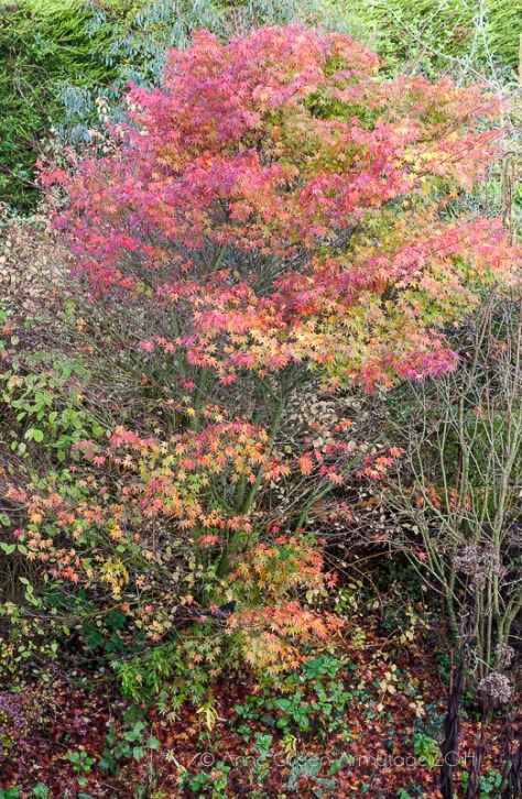 Acer palmatum cv. in private garden, autumn colour.