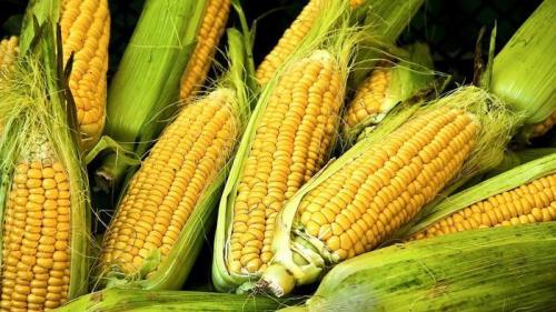 gmo-corn-after