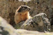marmotta_(nuriamp 9134330257 NC-ND)