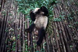 A giant panda rolls around in an enclosure at the Chengdu Research Base of Giant Panda Breeding, home to over 80 animals. Only 1600 individuals are estimated to be left in the wild ,as their habitat has shrunk drastically as a result of deforestation.