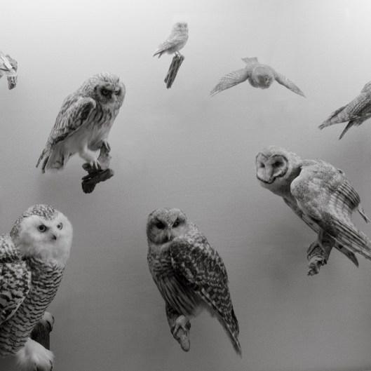 Dead owls. London. 2014