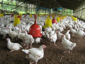 Papua New Guinea Manufacturers' Council calls poultry ban 'premature'