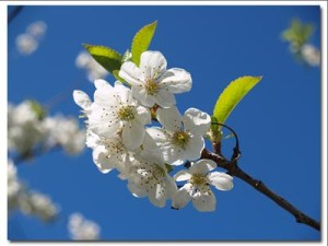 """""""Blue Sky & Blossoms"""" by Andrew McFarlane"""