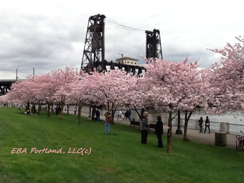 Cherry Blossoms In Portland — Walking Along Waterfront Park