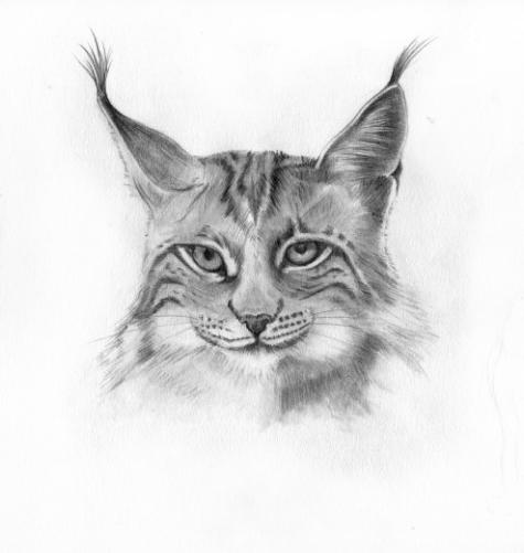 Pantera Animal Wallpaper 43 Dessins De Coloriage Lynx 224 Imprimer