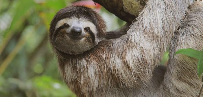 Nature Animal Wallpaper Hd Un Paresseux Du Costa Rica Chante Quot Le Lion Est Mort Ce Soir Quot