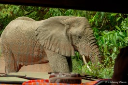 Elephant very close at Manyara NP