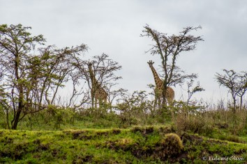 Giraffes on the roadside