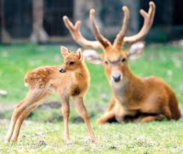 Image result for Sangai deer
