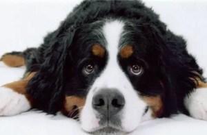 Bernese Mountain Dog   Características da raça, fotos e vídeos
