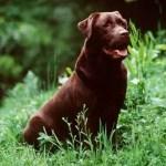 Labrador   Características da raça, fotos e vídeos