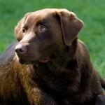 Labrador_Fotos_5