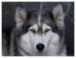 Raça Husky Siberiano   Características da raça, fotos e vídeos