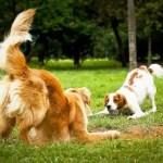 adocao-cachorro