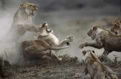 Leonas peleando