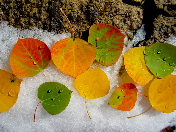Colorful Aspen leaves in the Snow, Green Creek Rd. (9/27/13) Donna Mercer