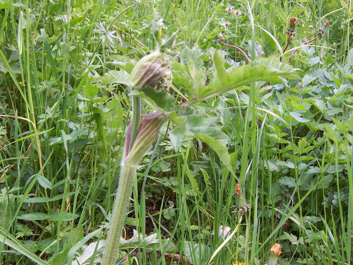 Plantes sauvages comestibles for Plantes en ligne belgique