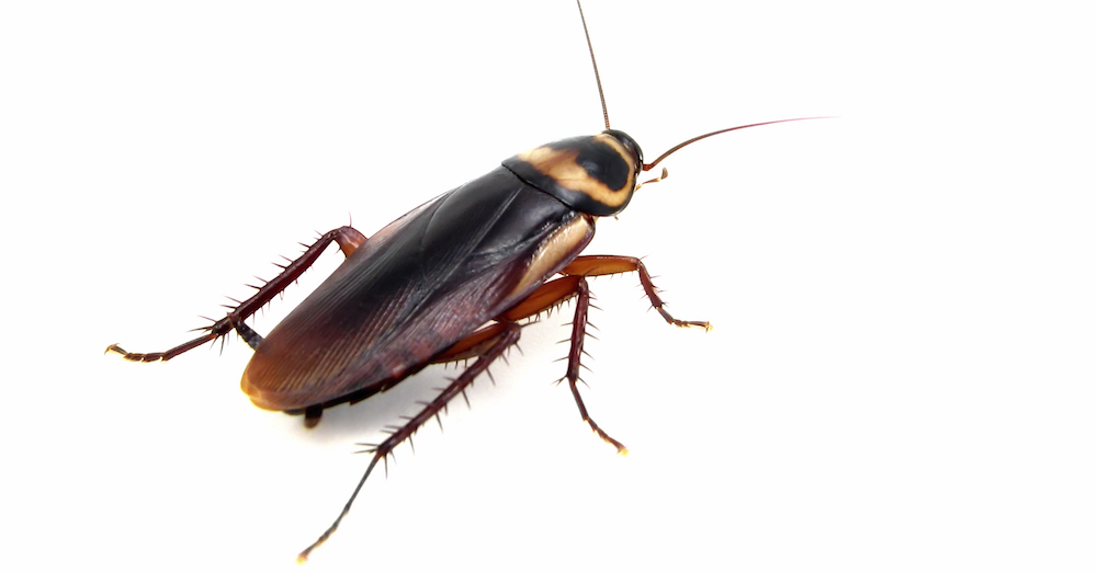 What Attracts Cockroaches to your Home? Northwest Exterminating