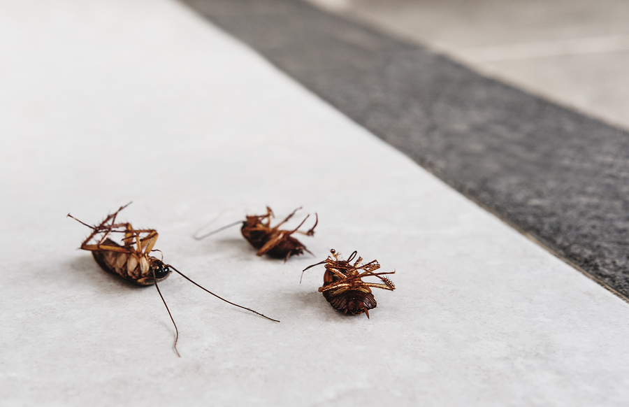 German Roaches vs American Roaches What\u0027s the Difference?