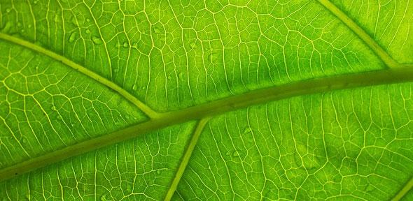 Nature Animal Wallpaper Hd Leaf Vein Structure Could Hold Key To Extending Battery